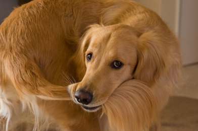 Why Do Dogs Lick Around Their Tails?
